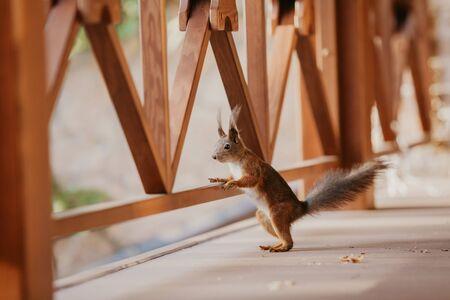 Lustiges Eichhörnchen mit flauschigen Ohren und einem Schwanz steht auf den Hinterbeinen auf dem Boden der Veranda und ruht mit der rechten Pfote auf dem Holzgeländer des Zauns Standard-Bild