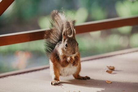 common squirrel with a big fluffy tail sits on its hind legs and gnaws a nut in close-up