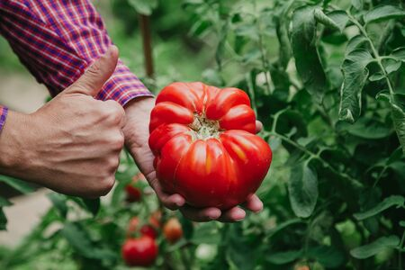 Excellent harvest. A large red tomato variety A ribbed giant lies in the hand. A satisfied farmer raised his thumb up