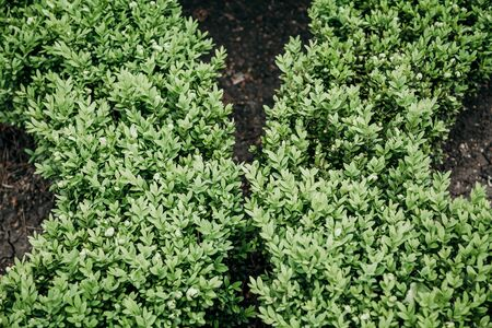 Two green arcs of living plants. Bright green boxwood bushes grow in the shape of two arcs. Beautiful symmetrical background