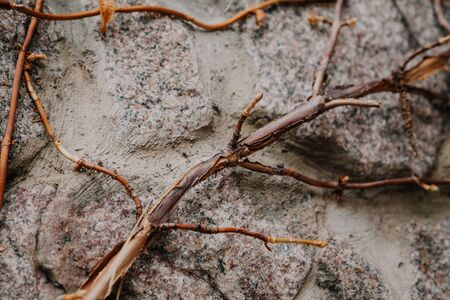 branch of decorative grape without leaves grows obliquely on a stone fence. Interesting abstract background