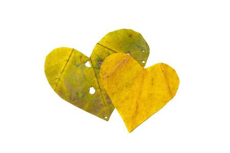 Autumn hearts. A heart symbol carved from a beautiful green and yellow maple leaf. Isolated on white background