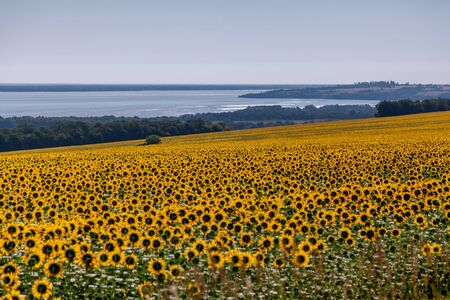 Scenic yellow landscape. A field of yellow round sunflowers over a wide river against a cloudy sky Imagens - 130708356