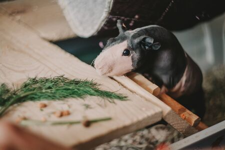 cute little guinea pig with naked skin climbs a wooden staircase and reaches for a branch of fresh green dill