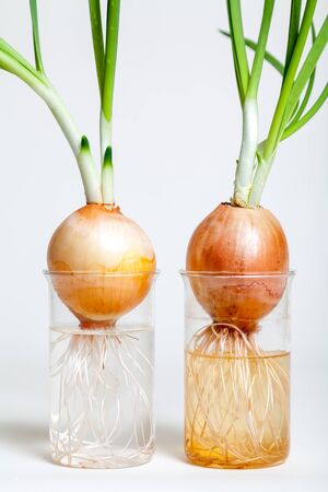 Two sprouted bulbs with an extensive root system in transparent flasks with water on a white background closeup
