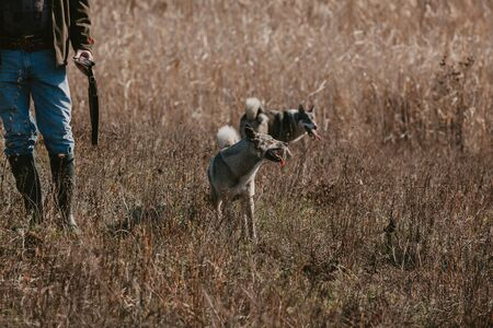 To hunt with dogs. Two husky dogs stand in the meadow on an autumn day. Nearby is a hunter with a gun