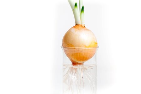 Sprouted onion with an extensive root system in a transparent flask with water closeup on white background