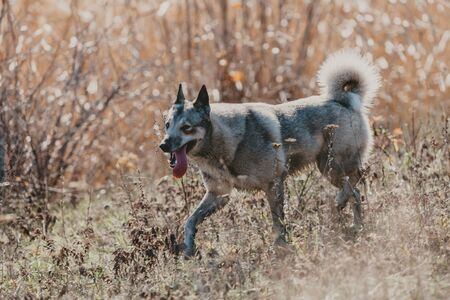 well-groomed husky hunting dog runs down the slope in the dry grass on a sunny day. Stuck out a long pink tongue