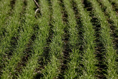 Young shoots of winter wheat on a sunny autumn day. Neat rows of green shoots planted in parallel arcs