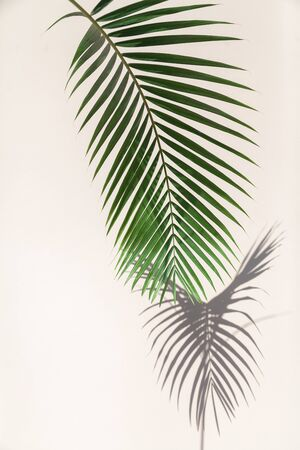 green branch of the Howe palm tree gives a clear shadow to the vertical wall. The branch is located vertically  Imagens