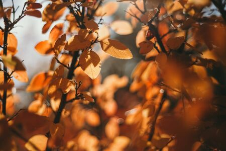 Golden colors of autumn. Tree branch with yellow leaves on a sunny autumn day  Imagens