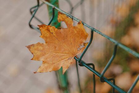 Dry maple tree leaf on a metal mesh fence closeup  Imagens