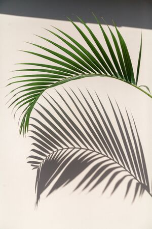 green branch of the Howea palm tree gives a clear shadow to the vertical light wall