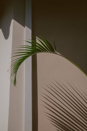 green branch of the Howea palm tree grows against the background of a corner of a light wall  Imagens