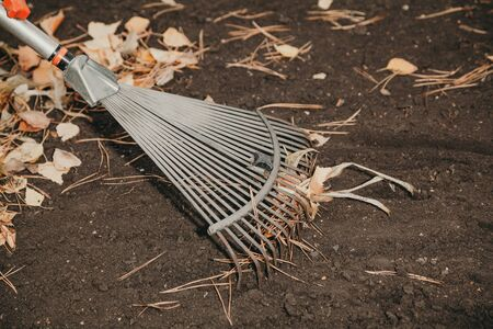Steel fan rake collect long pine needles and yellow fallen leaves on black earth Banco de Imagens