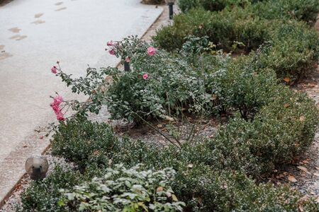 Early winter. A green rose bush with bright pink flowers grows in the yard. On the track heals white snow