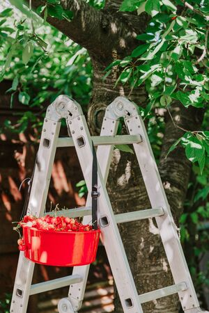 Collect red sweet cherries. Red container is full of ripe red sweet cherry weighs on the aluminum ladder  Zdjęcie Seryjne
