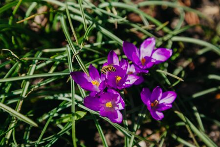 Spring flowers. A group of yellow flowers of saffron and green leaves grow in the garden Standard-Bild