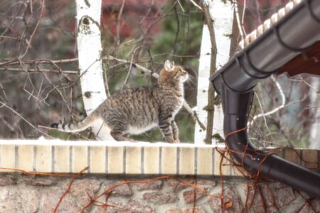 Tabby cat getting ready to jump from a stone fence onto a roof on a winter day. Behind two trunks of birch. In the foreground a drainpipe   Stock fotó
