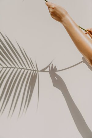 Hands holding green branch of palm tree of hovea on a light background