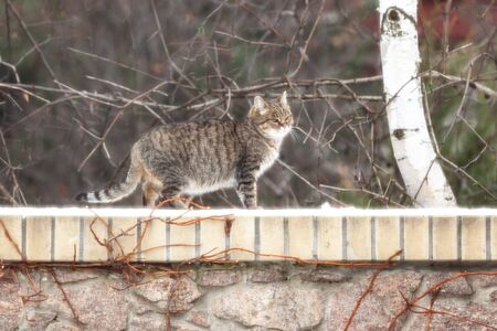 beautiful plump tabby cat walks over a stone fence. A layer of white snow lies on the bricks. Birch grows behind