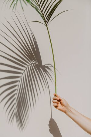 hand holds a graceful green branch of the Howea palm tree. She gives an original shadow on the wall.   Stock fotó