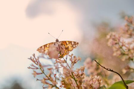 Insects and plant. Day butterfly burdock sits on a branch of a white lilac on a blurred background   Stock fotó