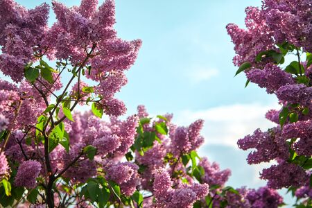 Beautiful branches of lilac with small flowers on a clear day. A stretch of blue sky is visible between them.