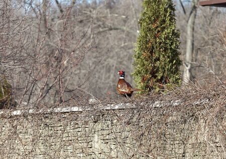 Pheasant in the city. A brown pheasant with a long tail walks along a stone fence overgrown with dry branches of grapes