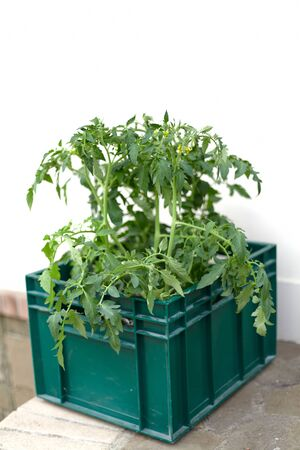We plant seedlings. Developed tomato sprouts with small yellow flowers grow in a plastic container on a white background