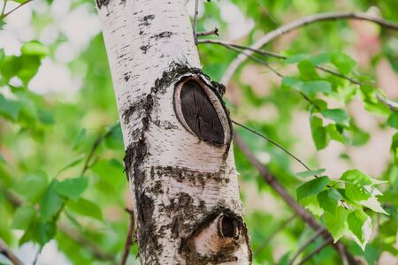 Beautiful vertical birch tree trunk with an oval branch cut. Green leaves grow behind