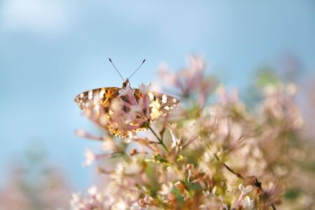 Insects and plant. Day butterfly burdock sits on a branch of a white lilac on a blurred background 写真素材
