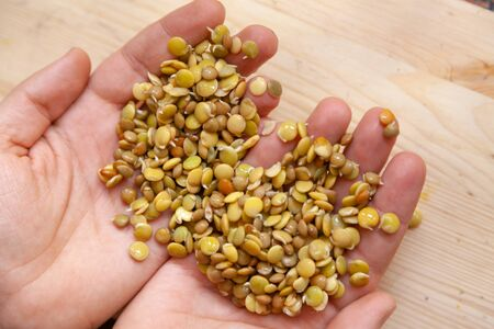 Hand of the breeder. Hands hold sprouted seeds of food lentils. 写真素材