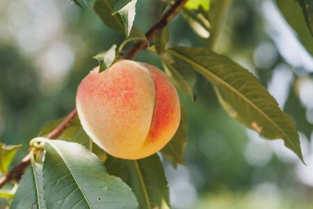 Harvest peaches. One delicious ripe peach hanging on a peach tree branch with green leaves Stok Fotoğraf