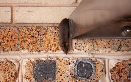 small gray mouse crawls out of a stainless metal construction against a brick wall.