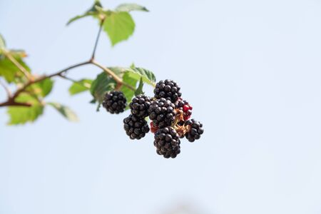 Ripe blackberries on a branch with leaves on a background of blue sky