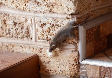 Little gray mouse crawls up a brick wall upside down