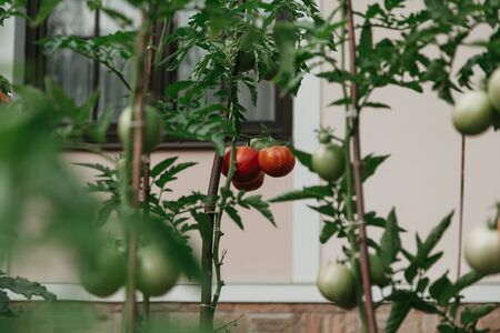 Harvest tomatoes. Group of appetizing red tomatoes grows on a green branch close-up