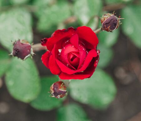 Beautiful red rose with water drops on a green background close-up. View from above