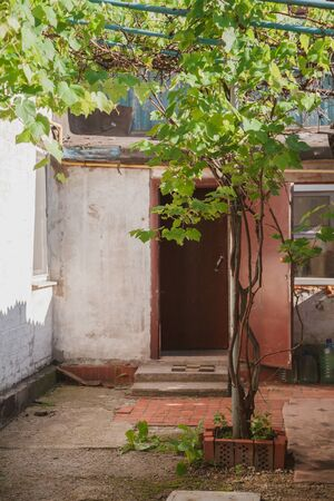 grape bush with green leaves grows in the middle of the courtyard of a private house. In the background, an open door