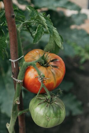 Tomatoes in the garden. Red and green tomato grows on a green branch close-up. The branch is tied to a wooden stand