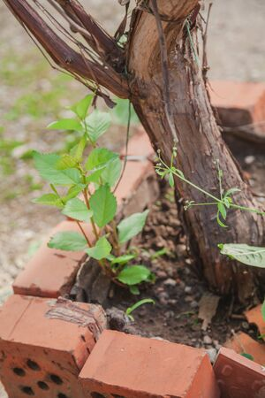 vine grows in the yard. Barrel of grapes grows inside brickwork close up