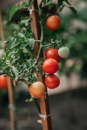 Harvest tomatoes. A group of appetizing red tomatoes grows on a green branch close-up. Near pink and green