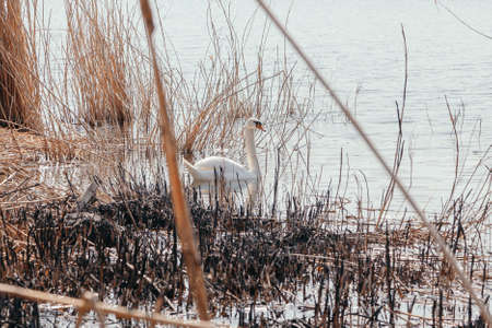 White swan swims on the water surface of the lake between dry reeds on a spring sunny day