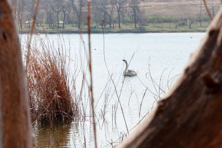 white swan stretches its long neck on the water surface. Dry reeds on the left. In the background, the line of the shore of the reservoir