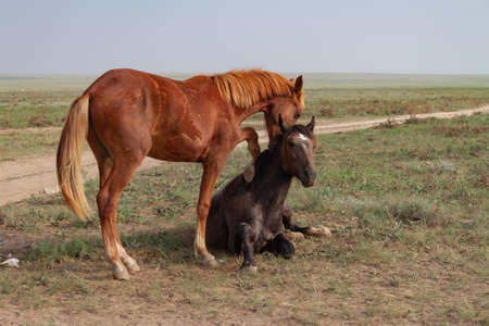 Tenderness in horses. The bay horse lies in the steppe. Nearby, a red horse tries to hug her 版權商用圖片