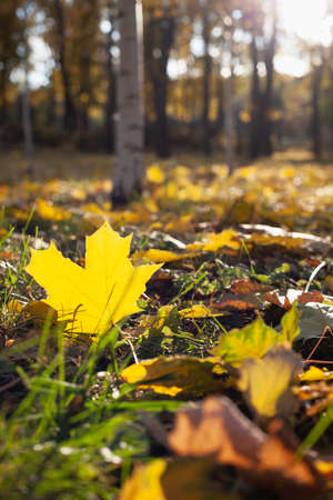 beautiful large fallen yellow maple leaf lies on green grass in an autumn park. Birch table in the background 免版税图像