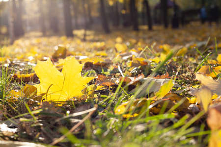 beautiful large fallen yellow maple leaf lies on the grass in an autumn park. Small leaves around 免版税图像