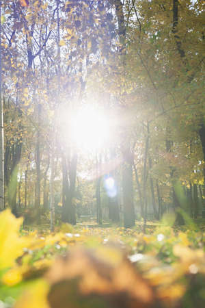 Autumn sun from the forest. The bright circle of the sun glows beautifully between the tree trunks in the forest. Beautiful highlights are visible