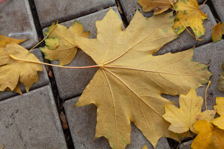 beautiful large fallen yellow maple leaf lies on the paving slabs in the autumn park. Small leaves around